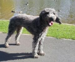Barney, Bedlington Terrier