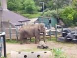 Asian/ Indian Elephant