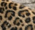 Leopard Spot