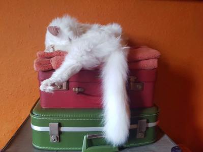 Maine coon snoozing on suitcases