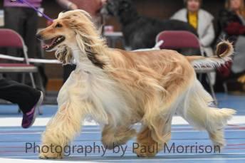 Afghan Hound [Photo Credit: Paul Morrison/ The Morrison Sighthound Gang]