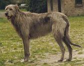 Irish Wolfhound [Open Source Google Image]