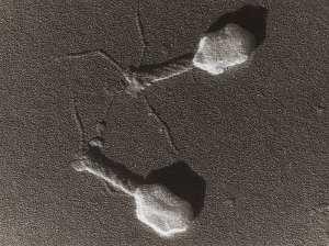 फेजथेरेपी (phage therapy) – इलाज का नया तरीका