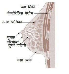 मादा जनन तंत्र (Female Reproductive System) इसे मादा जननांग मादा के लैंगिक अंग