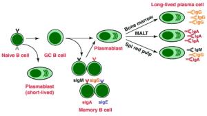 प्रतिरक्षा तंत्र की कोशिकाएं ( Cells of Immune System)