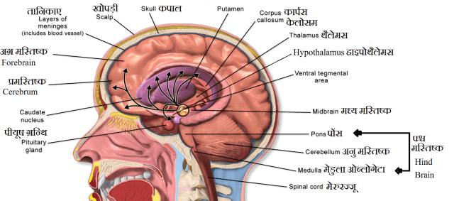 मस्तिष्क की संरचना एवं कार्य (Brain Anatomy ...