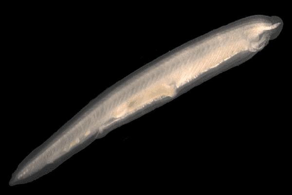 The lancet उपसंघ सिफैलोकोर्डेटा (Subphylum Cephalochordata)