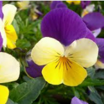 pansy-flowerinfo.org