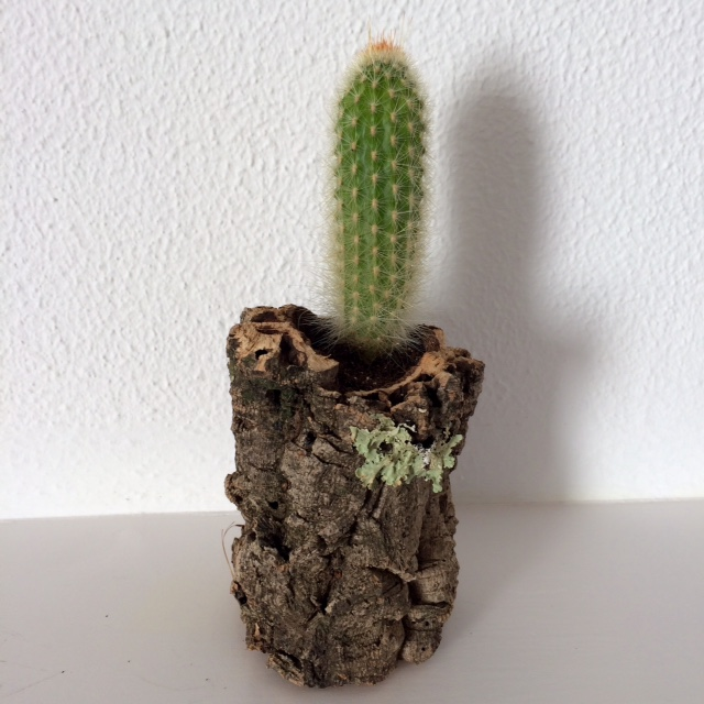 Cactus in cork planter