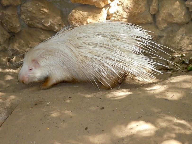 Albino giant porcupine