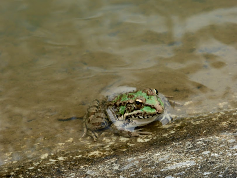 Frog on canal bank in Castellar
