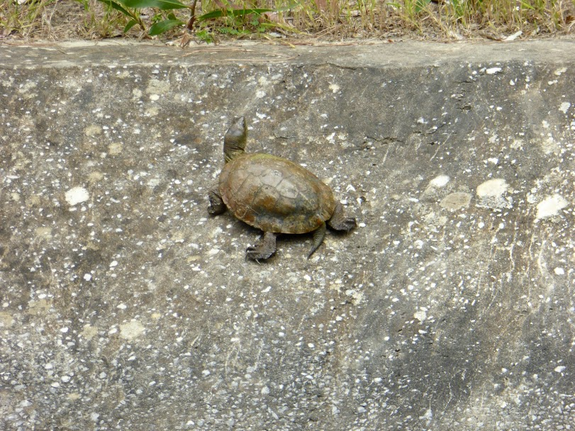 Terrapin on canal bank in Castellar