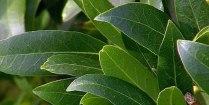 Fragrant sweet bay leaves