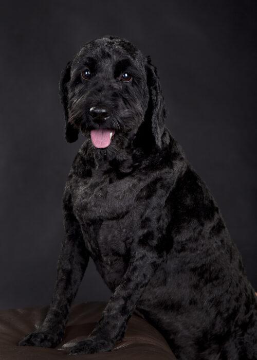pet portrait hull studio black background