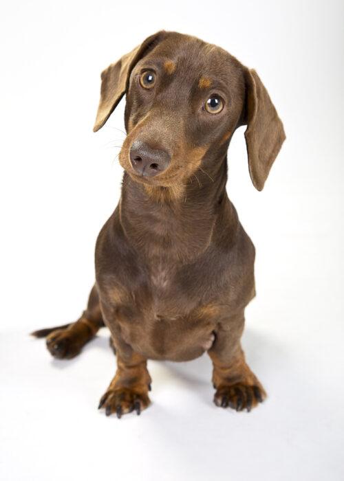 pet portrait miniature dashunde