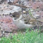 Juvenile Tree Sparrow