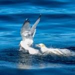 Gannet chasing Herring Gull
