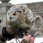 Siberian Owl