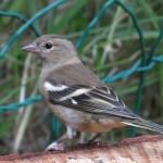 Chafffinch