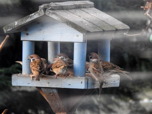 Treesparrows