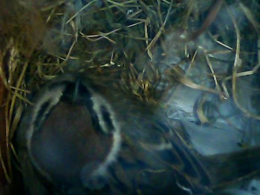 Tree Sparrow in  Nest Box