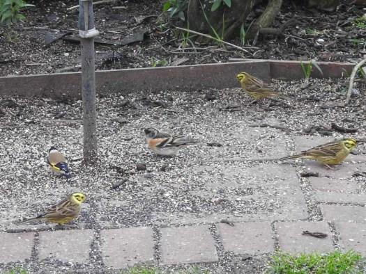 Garden Finches