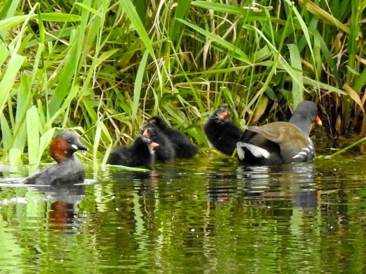 Moorhen with chicks and Little Grebe