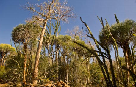 Spiny thicket with baobab, euporbia and octopus trees