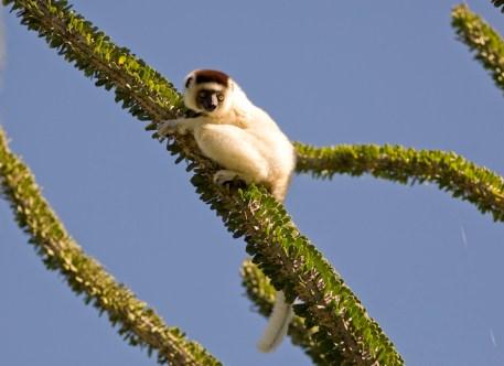 A dancing lemur in an octopus tree