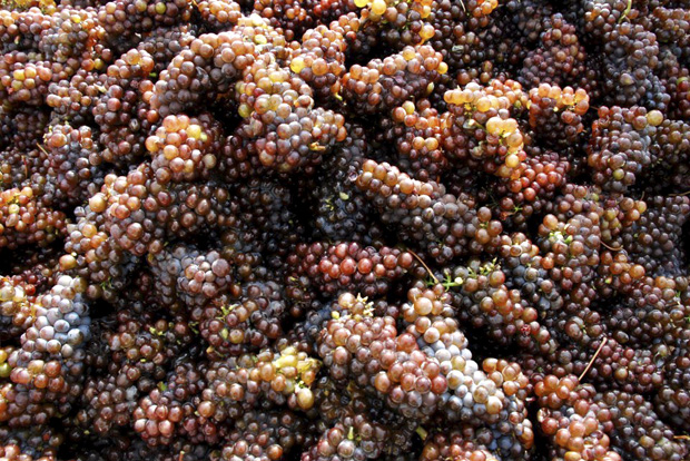 Grapes ready for their custom crush at the Joe Dobbes Estate
