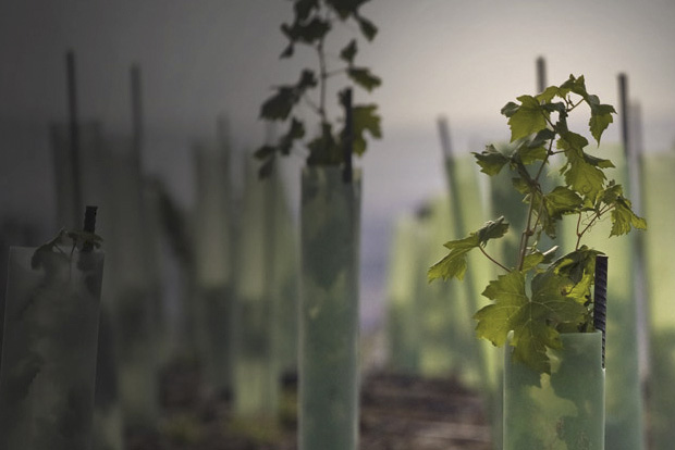 Early season vines at Col Solare Winery in Washington