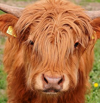 Hairy Highland Cow- Photo by Flickr user: Tambako
