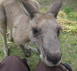 kangaroo australia batemans bay