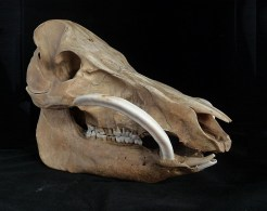 Boar skull