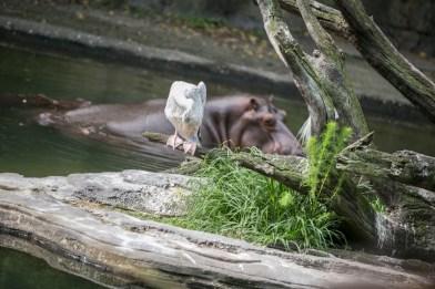 Hippo and cranes
