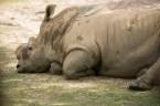 Rhinos...
