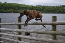 Ruby easily leaps over a 4 ft 6 inch fence.