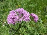 Hedge-eaved Adenostyle