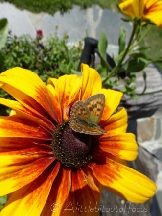 Copper butterfly III