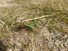 It could be a grasshopper, but it didn't fit with the sporting theme!