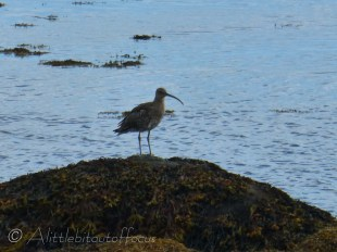A very distinctive bird, which can be seen around the coast of the UK & Ireland. It's the largest wading bird in Europe apparently.