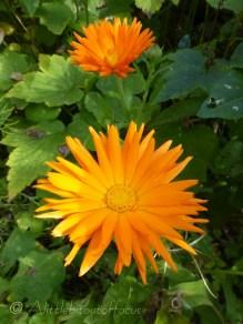 Orange English Marigolds