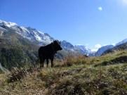 Val d'Hérens cow