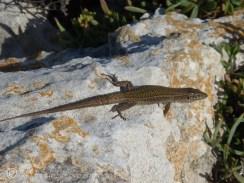 Ibiza wall lizard