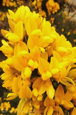 21 Gorse flowers