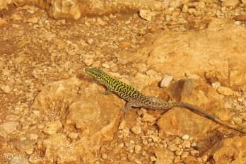 4-lizard