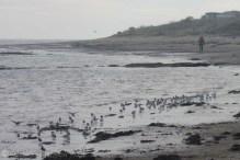 18-sanderlings-feeding