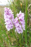 1 Common Spotted Orchid(1)