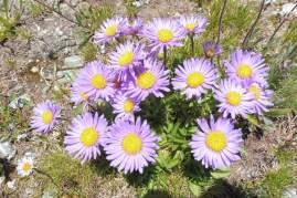 10 Alpine Asters