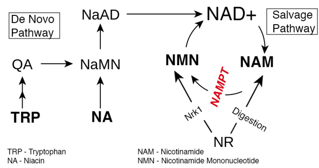 Image result for NAD+ synthesis